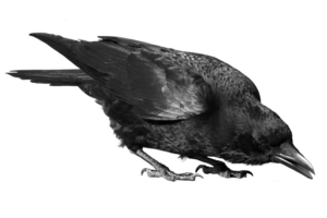 Raven Bird PNG Image PNG Clip art