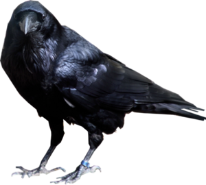 Raven Bird Transparent Background PNG Clip art