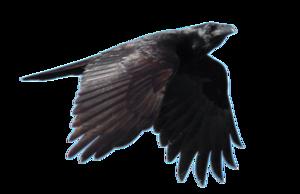 Raven Flying PNG Free Download PNG Clip art