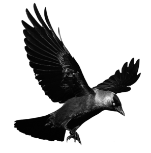 Raven Flying Transparent Background PNG Clip art