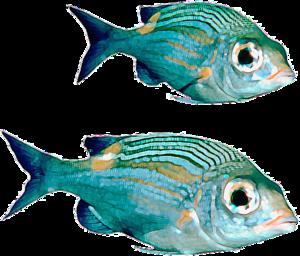 Real Fish PNG File PNG Clip art