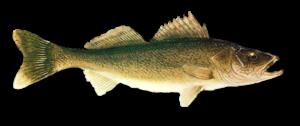 Real Fish PNG Photo PNG Clip art