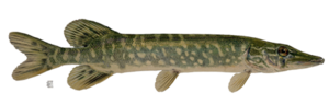 Real Fish PNG Picture PNG Clip art