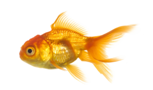 Real Fish Transparent Background PNG Clip art