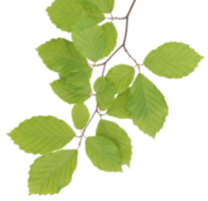 Real Leaves PNG Clipart PNG icon