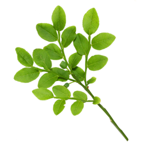 Real Leaves PNG Clip art