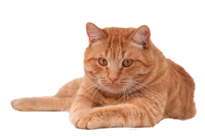 Red Cat PNG PNG Clip art