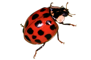 Red Ladybug PNG Transparent Image PNG icon