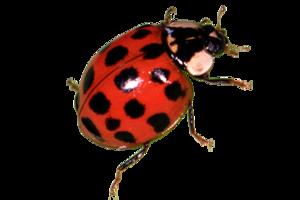 Red Ladybug PNG Transparent Image PNG Clip art