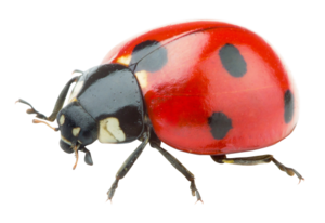 Red Ladybug PNG Transparent Picture PNG Clip art