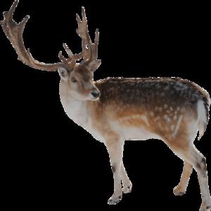 Reindeer Transparent Background PNG Clip art