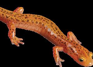 Salamander PNG Clipart PNG Clip art