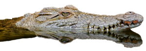 Saltwater Crocodile PNG File PNG Clip art