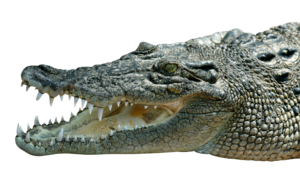 Saltwater Crocodile PNG Free Download PNG Clip art
