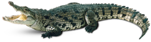 Saltwater Crocodile PNG Photos PNG Clip art
