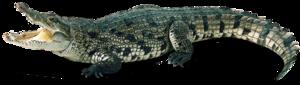 Saltwater Crocodile PNG Photos PNG Clip art