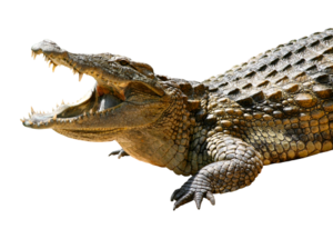 Saltwater Crocodile PNG Pic PNG Clip art