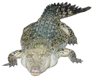 Saltwater Crocodile Transparent Background PNG Clip art
