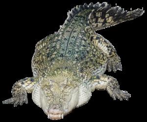 Saltwater Crocodile Transparent Background PNG Clip art