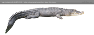 Saltwater Crocodile Transparent PNG PNG Clip art