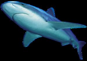 Shark PNG File PNG Clip art