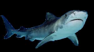 Shark PNG Free Download PNG Clip art