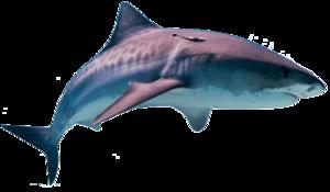 Shark PNG HD PNG Clip art