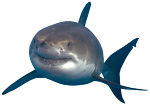 Shark Transparent PNG PNG Clip art