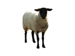 Sheep PNG Background Photo PNG Clip art