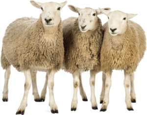Sheep PNG Download Image PNG Clip art