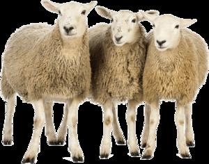 Sheep PNG Download Image PNG Clip art