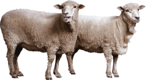 Sheep PNG File Download Free PNG image