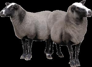 Sheep PNG Free Image PNG Clip art