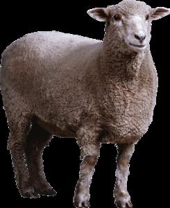 Sheep PNG HD Photo PNG Clip art