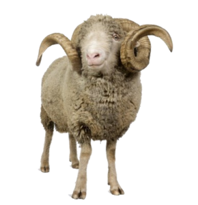 Sheep PNG Image Free Download PNG Clip art