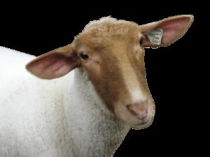 Sheep PNG Image HD PNG Clip art