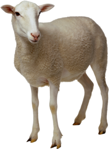 Sheep PNG No Background PNG Clip art