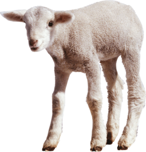 Sheep PNG Transparent Images PNG icon