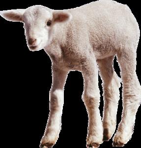 Sheep PNG Transparent Images PNG Clip art