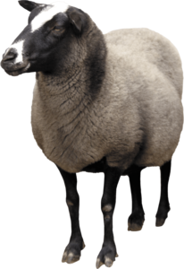 Sheep PNG Transparent PNG Clip art
