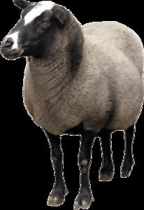 Sheep PNG Transparent PNG Clip art