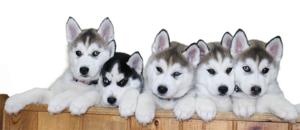 Siberian Husky Puppy PNG File PNG Clip art