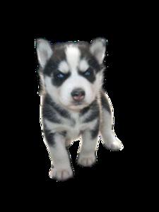 Siberian Husky Puppy PNG Photos PNG Clip art