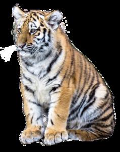 Siberian Tiger PNG Clipart PNG Clip art