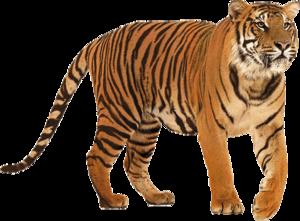 Siberian Tiger PNG HD PNG Clip art