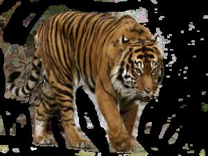 Siberian Tiger Transparent Background PNG image