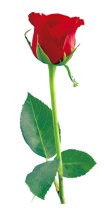 Single Red Rose PNG File PNG Clip art