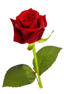 Single Red Rose PNG HD PNG Clip art