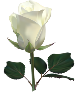 Single White Rose PNG PNG Clip art