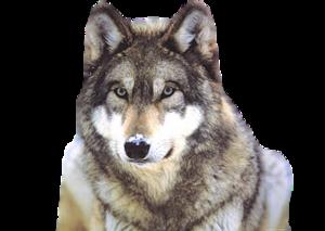Snow Wolf Clip Art PNG PNG Clip art